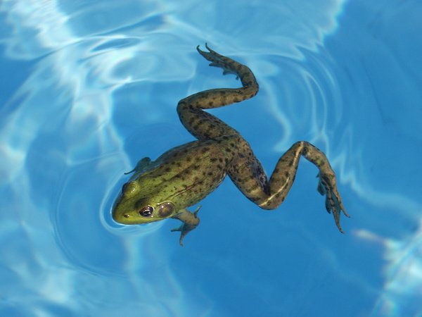 Green Frog in a Pool
